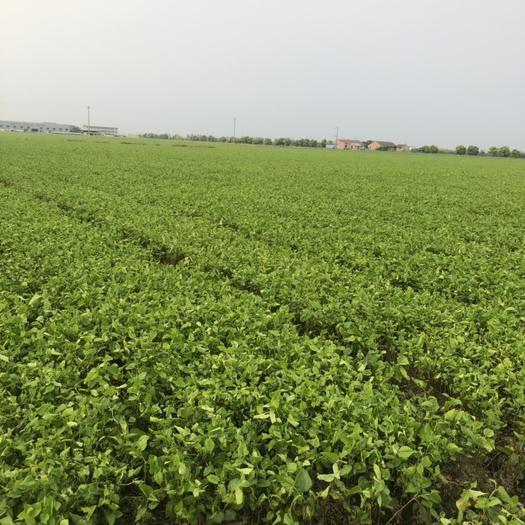 浙江省嘉興市桐鄉市蛋白桑苗 蛋白苗品種純度百分之百