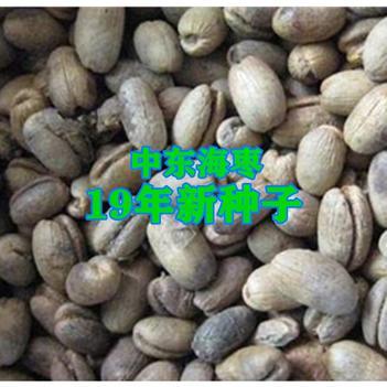 海枣种子中东海枣种子包邮