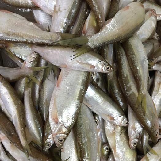 广东省湛江市廉江市翘嘴鳜 水库野生篮刀鱼,大量现货供应