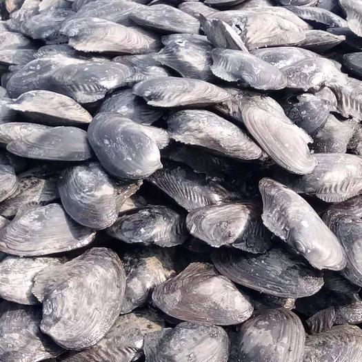 山东省泰安市东平县 河蚌,单体二斤以上