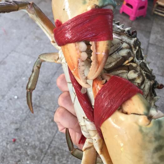 福建省漳州市东山县青蟹 满肉公蟹