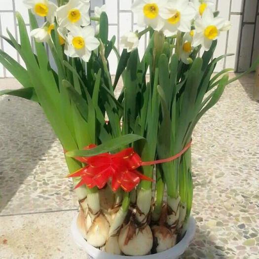 福建省漳州市龍海市 漳州水仙花,自家基地種植,小白盆裝