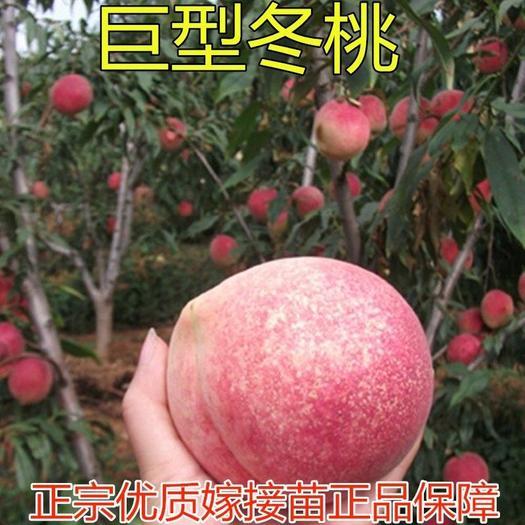 山東省臨沂市平邑縣 巨型冬桃苗 嫁接桃樹苗 晚熟冬桃 個大脆甜 當年結果苗