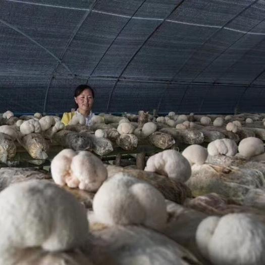 陜西省漢中市寧強縣 新鮮猴頭菇