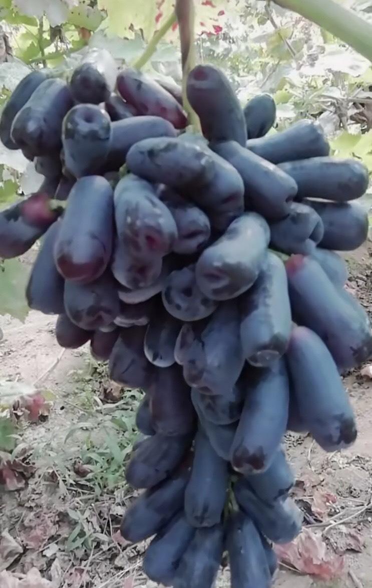蓝宝石葡萄苗 正宗蓝宝石 基地直销 现挖现发 保湿沾泥浆发货 配送种植资料