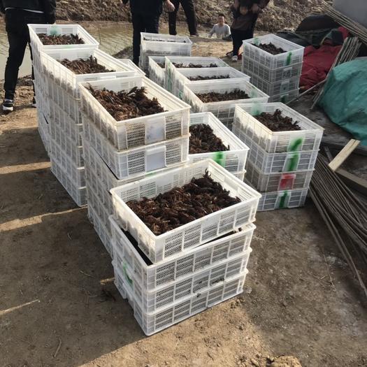山东省济宁市鱼台县 山东万亩小龙虾养殖基地出售龙虾苗