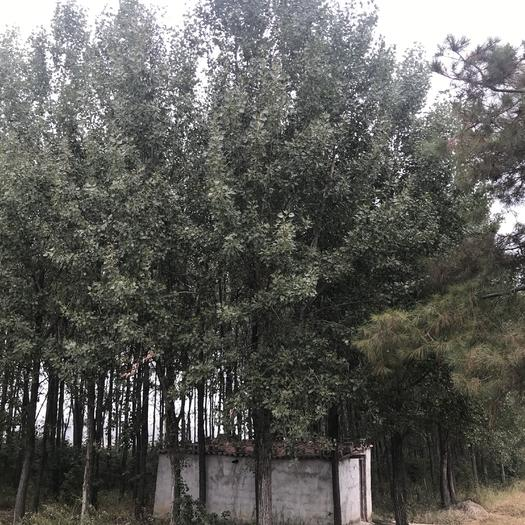 安徽省滁州市明光市有林地 四五十畝樹林地適合養各類養殖