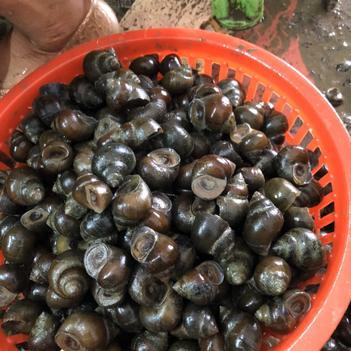 中国圆田螺 优质田螺石螺,长期大量供应,货量稳定,质量高