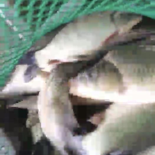 江苏省苏州市常熟市 千岛湖鲫鱼规格八量到1斤半