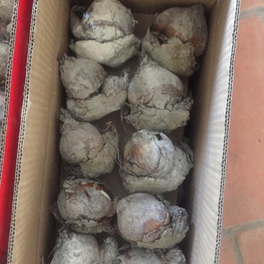 福建省漳州市龍海市 漳州自家水仙花種球,一件20顆