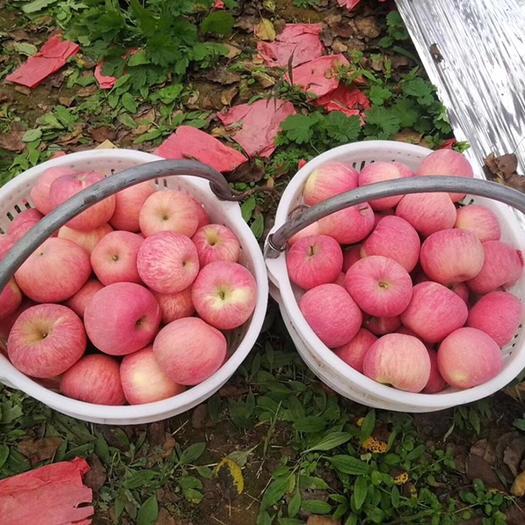 陜西省延安市洛川縣洛川蘋果 95mm以上 條紅 紙袋