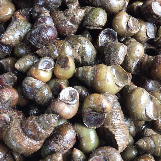湖北省荆州市洪湖市 石螺,各种规格都可以供应