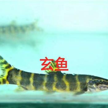 石爬鱼 野生鱼专卖,各种高端稀有野生鱼