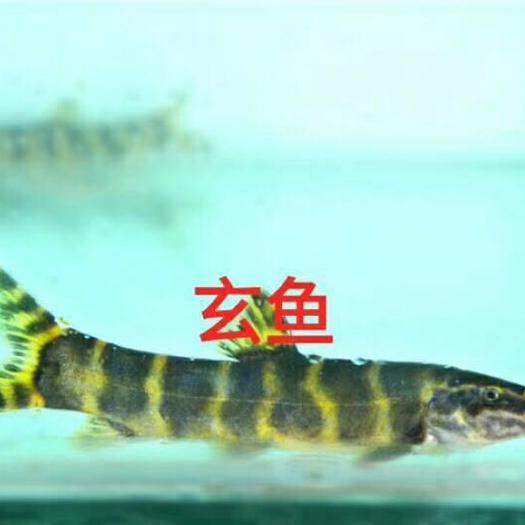 湖北省襄阳市襄城区石爬鱼 野生鱼专卖,各种高端稀有野生鱼