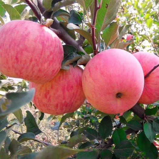 寧夏回族自治區吳忠市青銅峽市 蘋果光線足,晝夜溫差大,蘋果甘甜可口,水分足,富含各種維生素