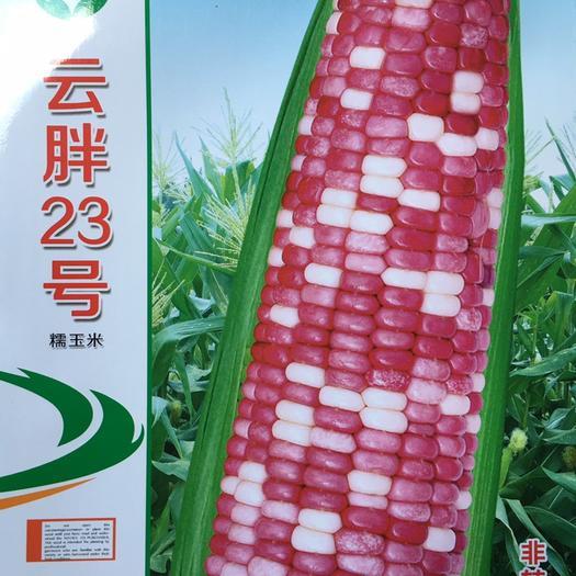 云南省昆明市官渡区糯玉米种子 彩糯玉米种