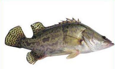 江苏省扬州市高邮市 翘嘴鳜鱼批发零售量大从优,自家养殖