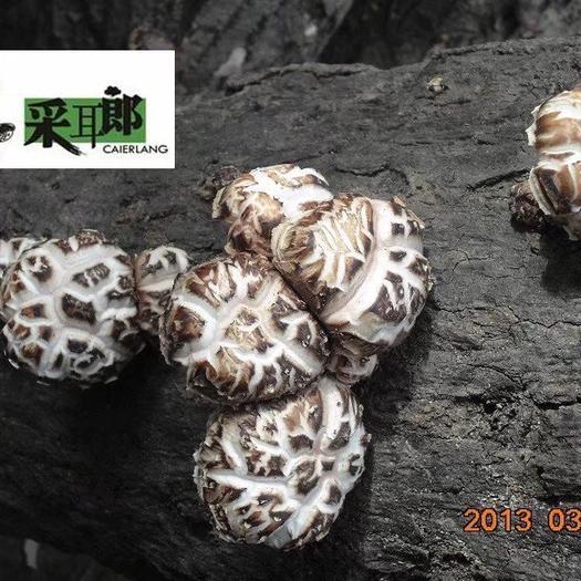 四川省广元市青川县香菇菌种