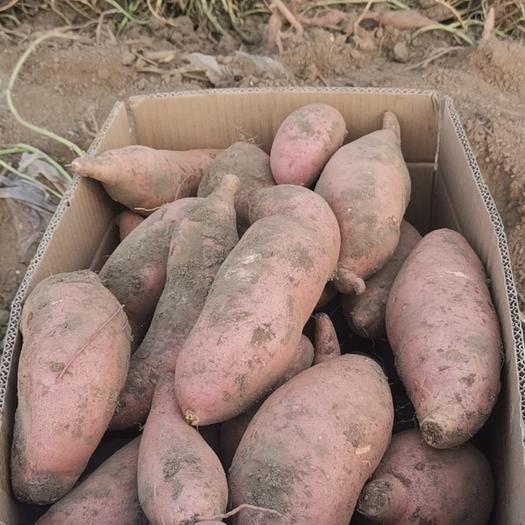 天津市宝坻区 大量红薯种植