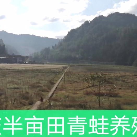 重庆市石柱土家族自治县黑斑蛙蝌蚪 半亩田生态农业老总亲自下池排水准备第二年的青蛙养殖工作