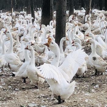 皖浦鵝苗 低價優質  孵化廠直發 免費送貨上門
