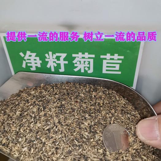 江苏省宿迁市沭阳县 菊苣种子包邮