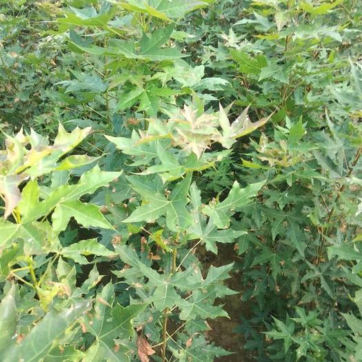 山西省运城市绛县 一年五角枫苗 长势好供货量大