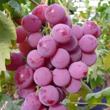【特价包邮】红提葡萄新鲜应季水果脆甜多汁香甜现摘现发包邮
