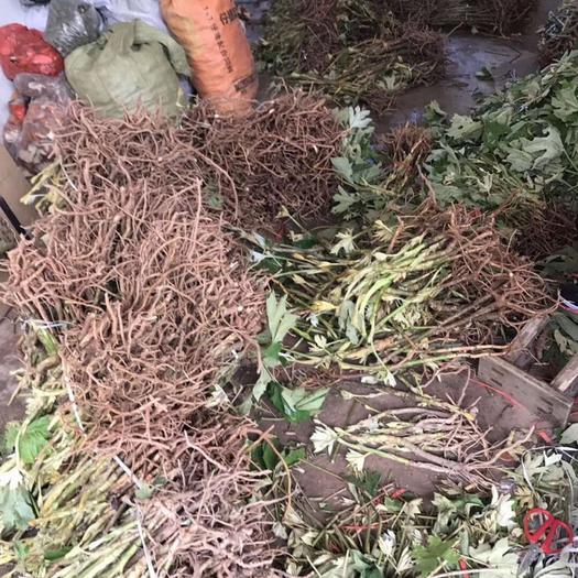 四川省成都市锦江区 大量出售大通草苗 包技术 包回收。