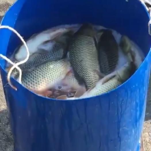 貴州省遵義市匯川區池塘鯉魚 人工養殖 1.5-3公斤