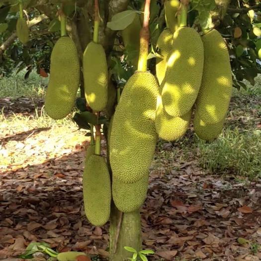 海南省万宁市万宁市海南菠萝蜜 13-20斤不等,2.4包运费,没有次果2000斤起质量保证