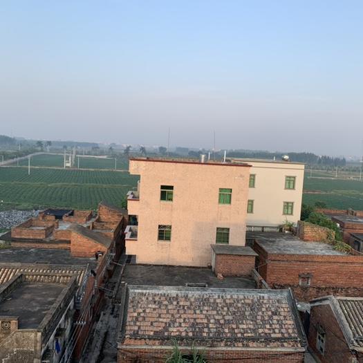 廣東省湛江市坡頭區煙薯25號紅薯苗 常規種(一級) ≥95% ≥75%