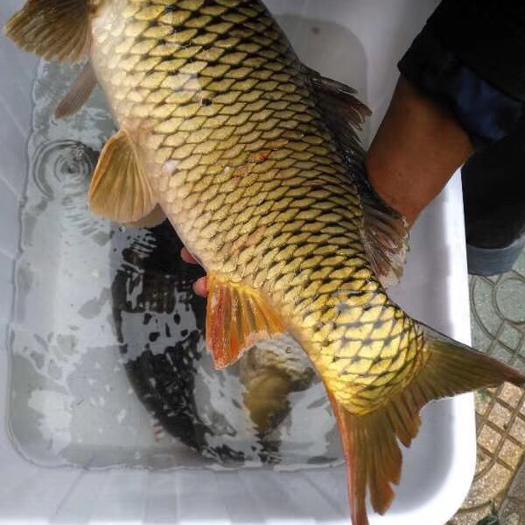 貴州省銅仁市思南縣 野生鯉魚 鯰魚