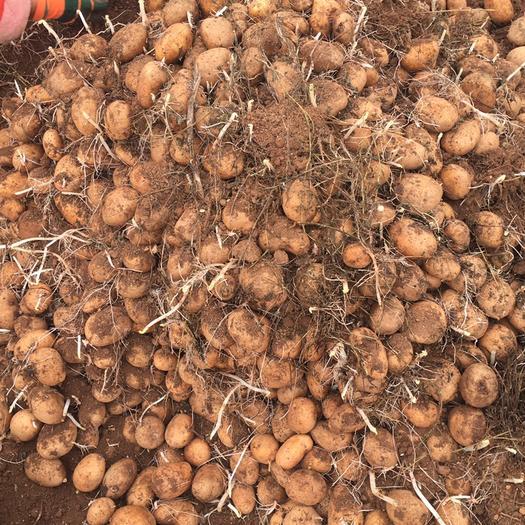 貴州省畢節市威寧彝族回族苗族自治縣威寧土豆種子 一級種薯