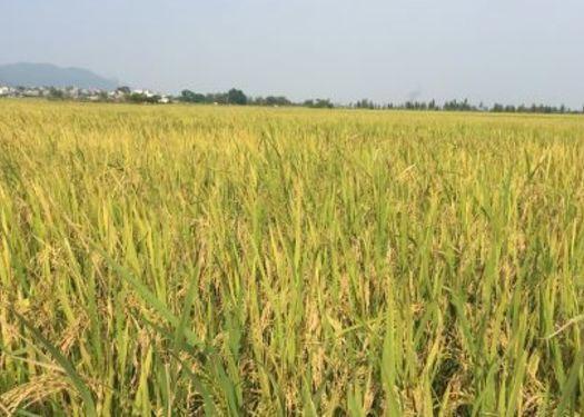 广东省江门市台山市象牙香占 一等品 晚稻 籼米