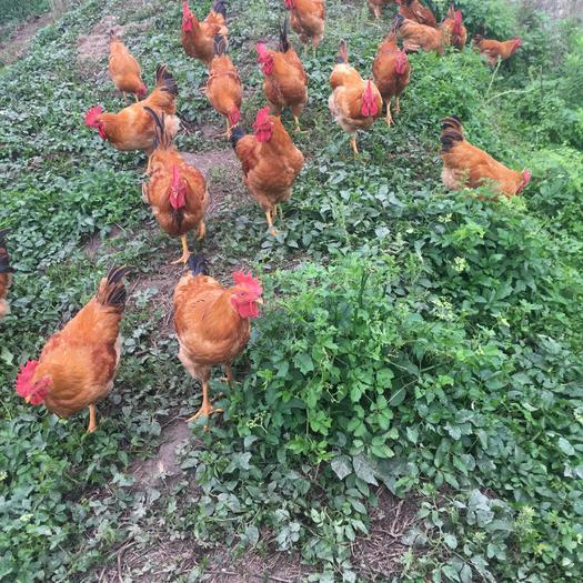 上海市青浦区 自家散养土鸡,鸭,鹅,野鸭