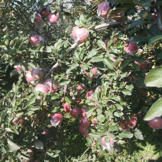 河北省石家莊市晉州市 紅富士蘋果批發售賣