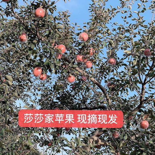 山西省运城市临猗县水晶富士 自家果园50亩直供,量大从优,条红,片红都有