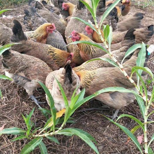 云南省西双版纳傣族自治州景洪市 正宗二代野鸡,高山森林处放养