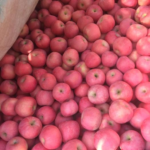 辽宁省葫芦岛市绥中县 富士苹果便宜了,几十万斤限购一周内采购