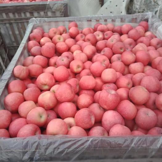 山东省威海市环翠区红富士苹果 80mm以上 片红 纸袋