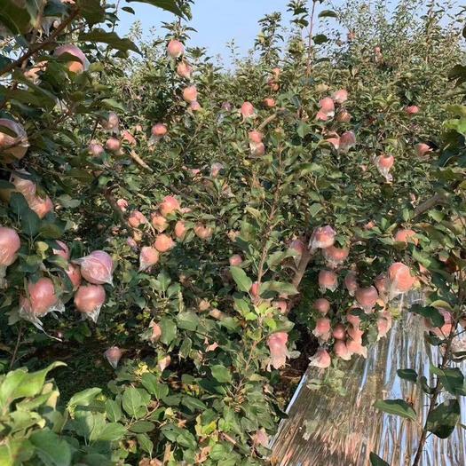 山东省菏泽市牡丹区冰糖心苹果 80mm以上 膜袋 片红