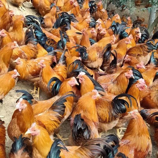 广西壮族自治区玉林市博白县土鸡 4-5斤 统货