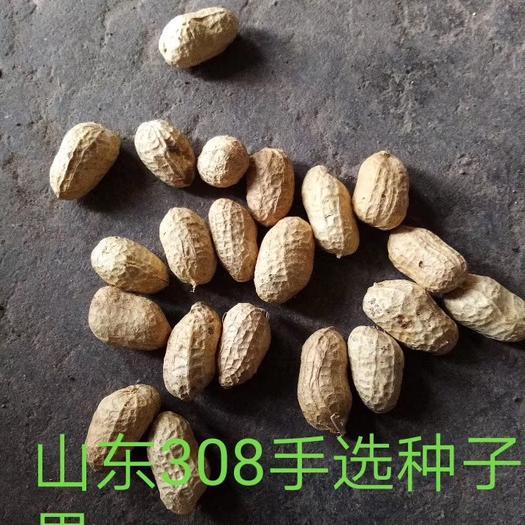 山東省臨沂市蘭山區 山東308 花生種子果 過色選后人工手選