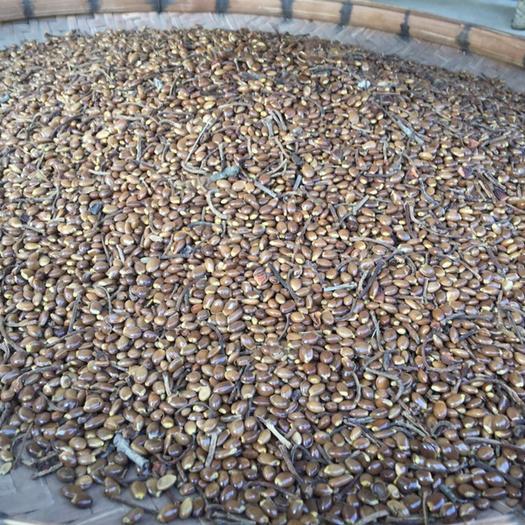 廣西壯族自治區梧州市藤縣八角種子