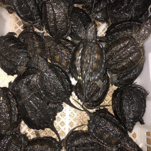 江西省撫州市南豐縣鱷龜苗 外池鱷魚龜