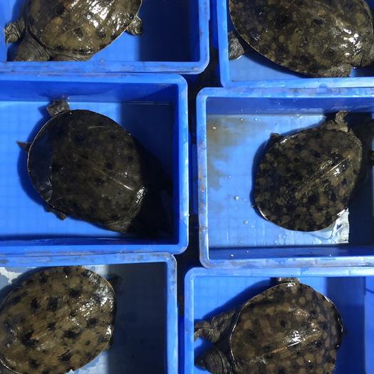 廣東省廣州市荔灣區 2斤3斤黃油白油 水庫甲魚 5年甲魚