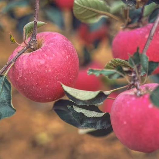 遼寧省大連市普蘭店區 斗南蘋果。綠色食品認證。果紅個頭大 口感脆甜