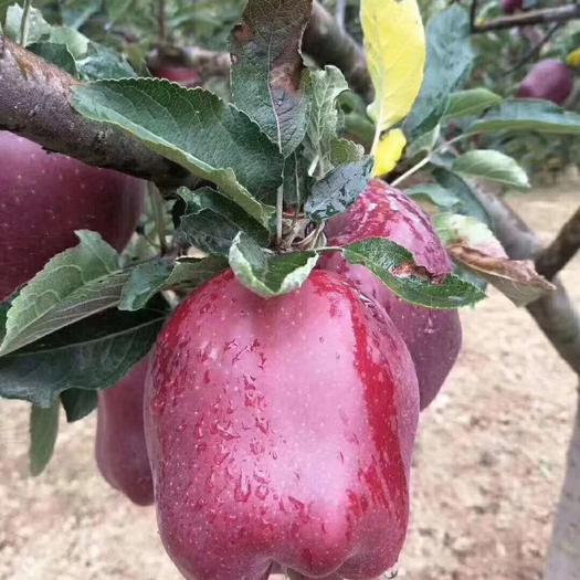 四川省成都市郫都區 甘肅天水花牛蘋果直產基地 支持一件代發 零售