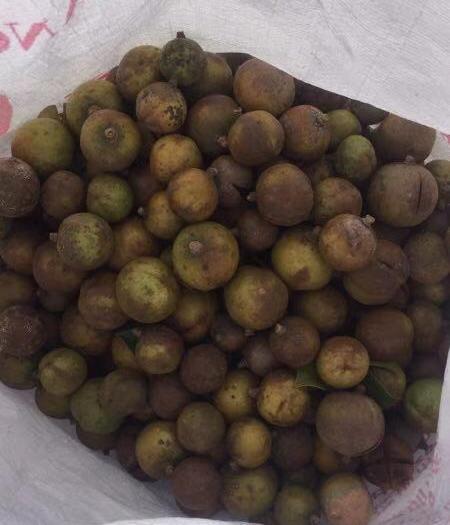 廣東省梅州市五華縣油茶籽